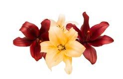 isolerad lilja Royaltyfria Bilder