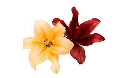 isolerad lilja Arkivfoto