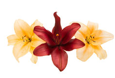 isolerad lilja Arkivbild