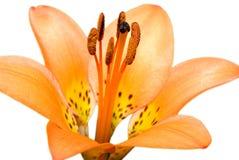 isolerad liljatiger Royaltyfria Bilder