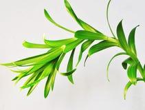 Isolerad liljaväxt Arkivbild