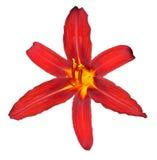isolerad lilly trevlig red Arkivfoton