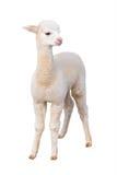 Isolerad liten alpaca Arkivfoto