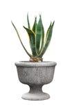 Isolerad liten grön dekorativ agave royaltyfri foto