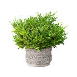 Isolerad liten grön dekorativ buske Royaltyfria Foton