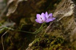 Isolerad liten purpurfärgad lampglasblåklocka arkivfoto