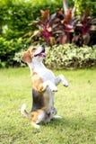isolerad liten valpwhite för bakgrund beagle Royaltyfria Bilder