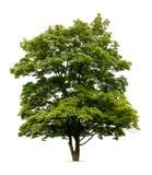 isolerad lönnnorway tree Royaltyfria Foton