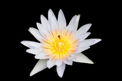 Isolerad lotusblomma på svart bakgrund Arkivbild