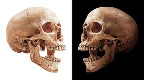 Isolerad mänsklig skalle arkivbild