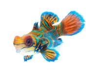 isolerad mandarinwhite för bakgrund fisk Royaltyfri Fotografi