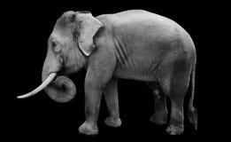 Isolerad manlig asiatisk elefant Arkivbilder
