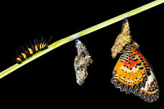 Isolerad manlig cirkulering för liv för leopardlacewingfjäril royaltyfri fotografi