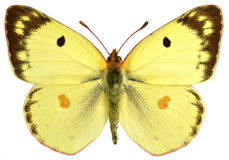 Isolerad manlig Pale Clouded Yellow fjäril Royaltyfri Fotografi