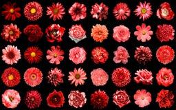 Isolerad mega packe av naturliga och overkliga röda blommor 40 i 1 Royaltyfri Fotografi