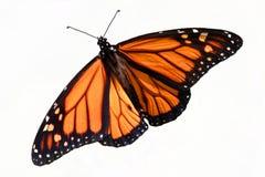 isolerad monarkplexippus för fjäril danaus arkivfoto