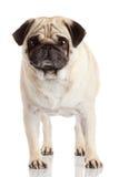 Isolerad mopshund Royaltyfri Fotografi