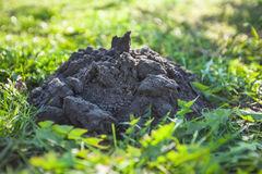Isolerad mullvadshög i gräs Royaltyfri Bild