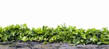 isolerad murgröna Royaltyfria Bilder