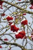 Isolerad närbild av den röda rönnen på filialerna som täckas med rimfrost mot den blåa himlen i en solig dag för vinter Arkivfoto
