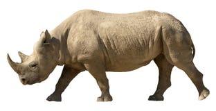 isolerad noshörning Arkivbilder