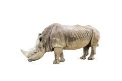 isolerad noshörningwhite Royaltyfri Fotografi