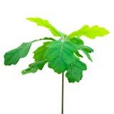 isolerad oak för filialcloseup green Arkivbild