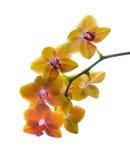Isolerad orange finnig orkidé Arkivbild