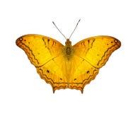 Isolerad orange gemensam kryssarefjäril Arkivfoto
