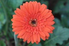 Isolerad orange gerbertusenskönablomma i trädgården Arkivfoton