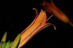 Isolerad orange Hemerocallis för dagliljor Arkivbilder