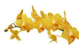 Isolerad orange orkidéblomma Arkivfoto