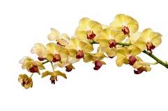 Isolerad orange orkidéblomma Arkivfoton