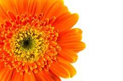 isolerad orange white för bakgrundsblomma gerbera Royaltyfri Bild