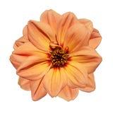 isolerad orange white för bakgrundsdahlia blomma Royaltyfri Fotografi