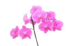 isolerad orchid Arkivfoto
