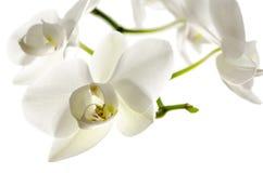Isolerad orchidblomma Royaltyfri Foto