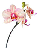 isolerad orchidphalaenopsiswhite Royaltyfri Bild