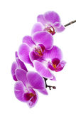 isolerad orchidpurple Royaltyfria Bilder