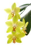 isolerad orchidsyellow Royaltyfria Bilder