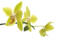 isolerad orchidsyellow Fotografering för Bildbyråer