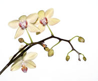 isolerad orchidyellow Arkivfoton