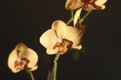 isolerad orhidea för bakgrund blomma Fotografering för Bildbyråer