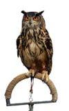 isolerad owl Arkivfoton