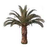 Isolerad palmträd royaltyfri bild