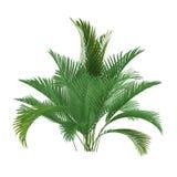 Isolerad palmträd. Chamaedorea cataractum Arkivbilder