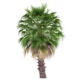 Isolerad palmträd. Washingtonia filifera Arkivfoton