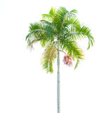 isolerad palmträdwhite Royaltyfri Fotografi