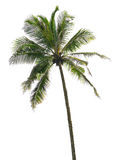 Isolerad palmträd Arkivfoto