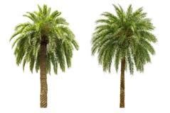 Isolerad palmträd Royaltyfria Bilder